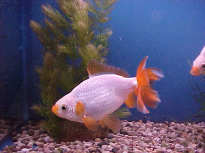 crazyanimalz jikin butterfly tail goldfish