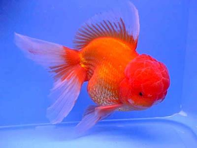 Pesci belli e pregiati d 39 acqua dolce yahoo answers for Pesce oranda