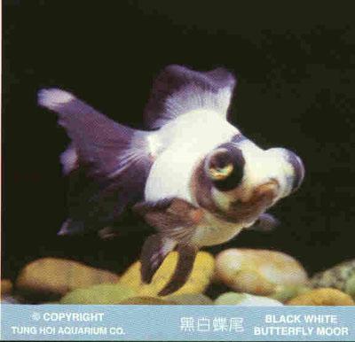 Nome scientifico di questo pesce yahoo answers for Pesce rosso razza