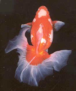 Acquari di acqua dolce for Pesce rosso razza