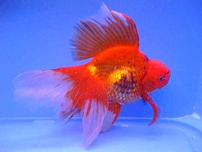 Acquari di acqua dolce for Quanto vivono i pesci rossi